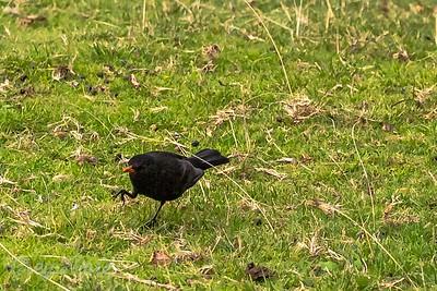 Blackbird walking
