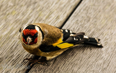 Goldfinch checking me out