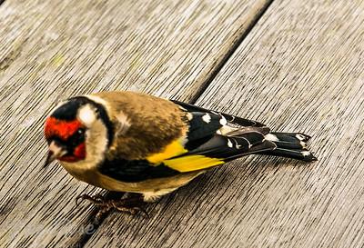 Goldfinch such a pretty bird