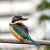 Wind Blown Sacred Kingfisher