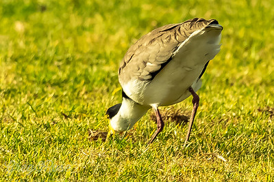 Spur -winged plover feeding