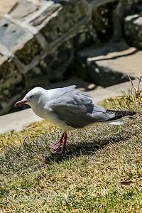 Red-billed gull (silver gull)