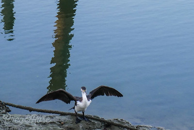 Pied Shag at Milford Creek