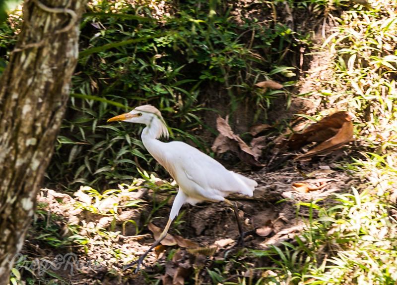 Cattle Egret having a walk