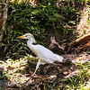 Cattle Egret having a walk
