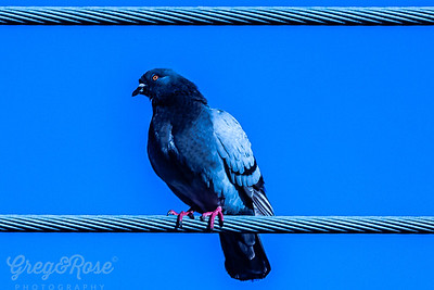 Rock pigeon on a wire