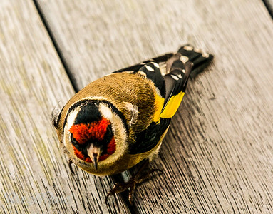 Goldfinch on our deck