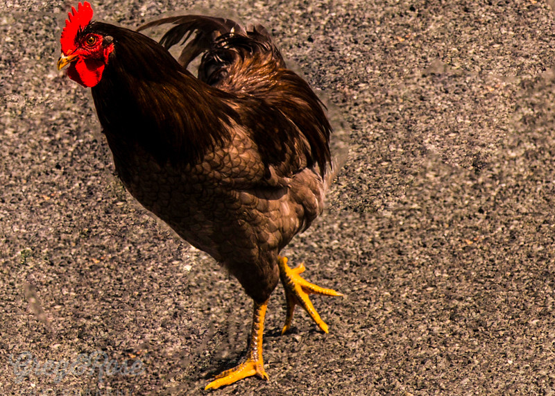 Rooster on the road