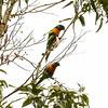 Australian King Parrots.