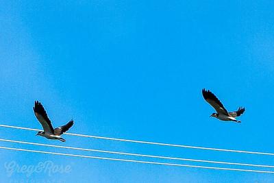 Spur-winged Plover Flight
