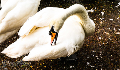 Swan Grooming the plummage