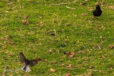Fantail Meets Blackbird