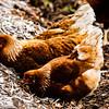 Hens digging