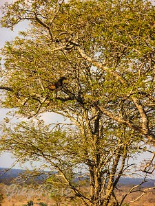 Martial Eagle in a tree