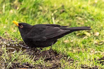 Blackbird having a drink