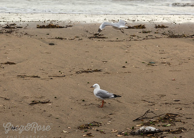 Fly or walk all the same to these Gulls.