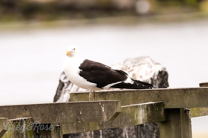 Black Back Gull
