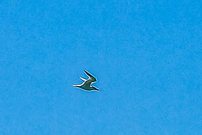 Caspian tern Hydroprogne caspia