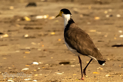 Simply a lovely bird the Spur -winged Plover