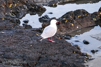 Gull at the Rock pools