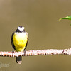 Social Flycatcher 2