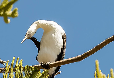 Pied Shag with an Itch
