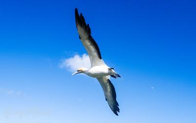 Gannet flight.
