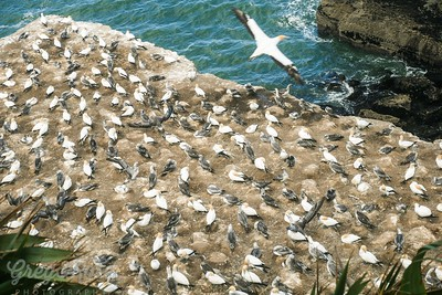 Given the storms we have had this summer it shows how resilient the Gannets are