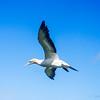 Gannet flight (2
