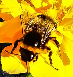 The Beautiful Bumble Bee