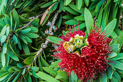 Bee on an emerging Bottle Brush flower