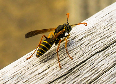 Angry Asian Paper Wasp
