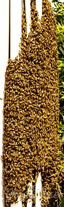 Masses of Bees