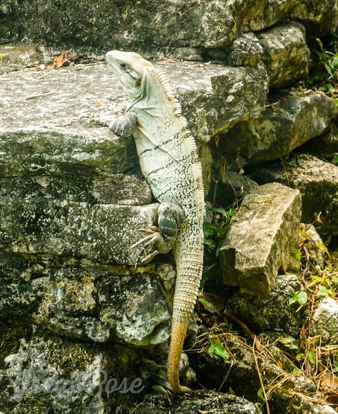 Green Iguana Encounter at Palenque