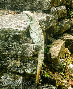 Green Iguana Encounter at Palenque