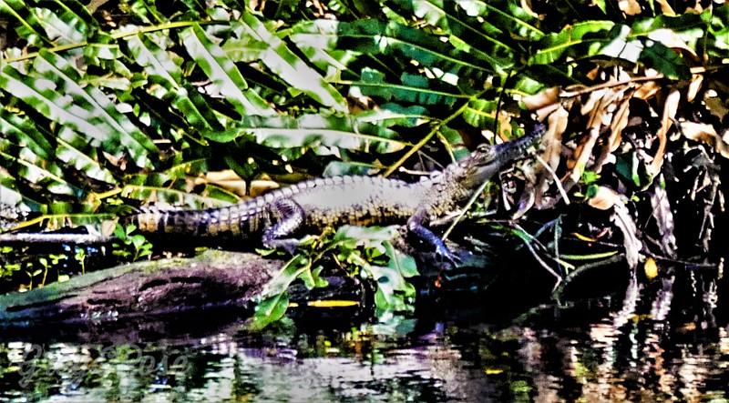 Belize Crocodile