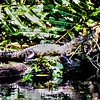 Belize Crocodile
