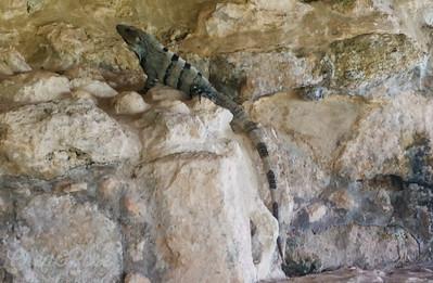 Green Iguana relaxing