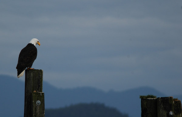 bald eagle tofino