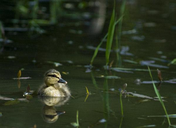 baby duck 17