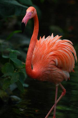 flamingo 35