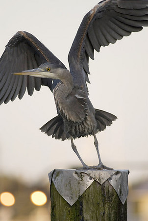Great Blue Heron 62