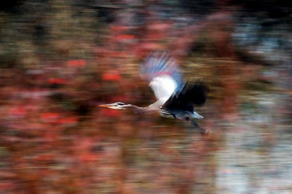great blue heron in flight motion blur pan