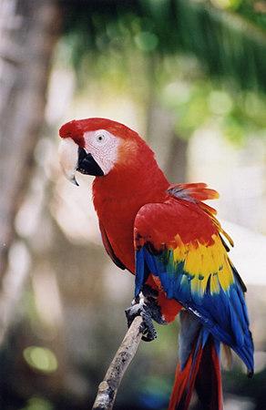 scarlet macaw 18