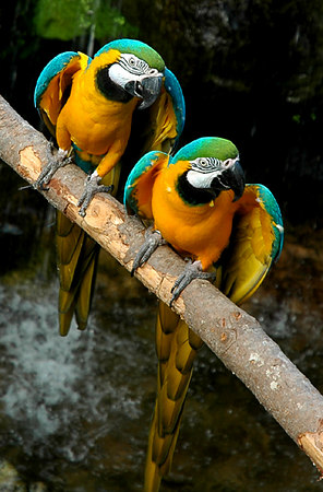 blue and gold macaws pair - 17