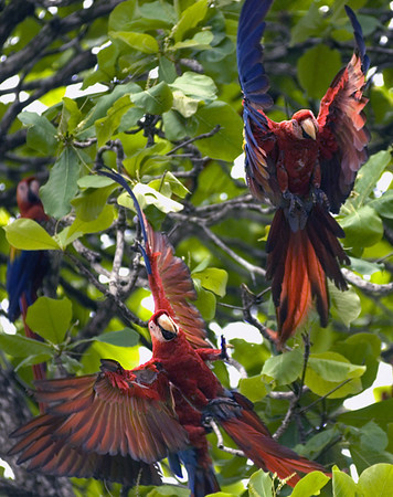 scarlet macaws in flight 15