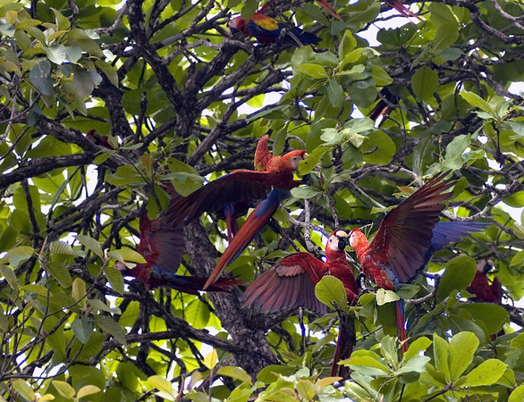 scarlet macaws 1