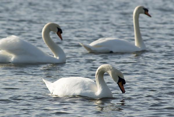 Mute swans in Esquimalt Lagoon in Victoria, British Columbia (on Vancouver Island).