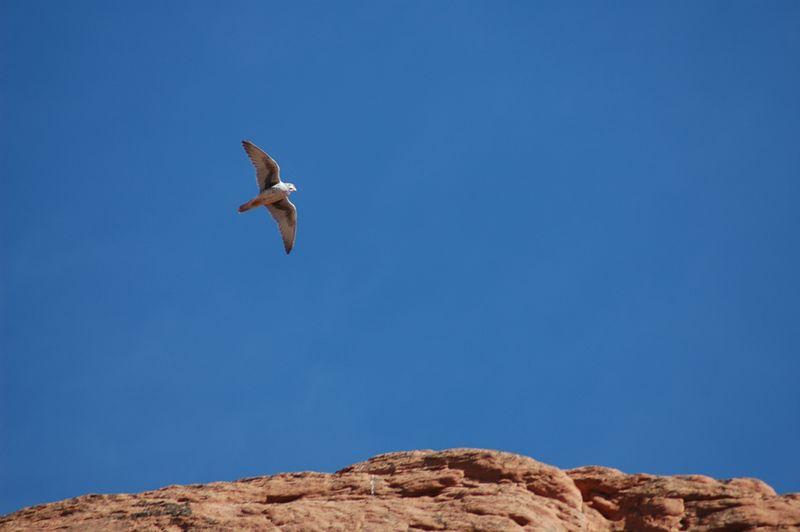 Prairie Falcon (we think) in flight