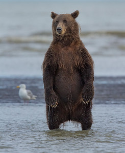 Coastal Brown Bear (Ursus arctos), Silver Salmon Creek, Lake Clark National Park and Preserve, Alaska